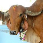 Kanuma – going back to the traditions of cow worship