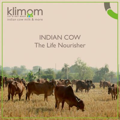 INDIAN COW : The Life Nourisher